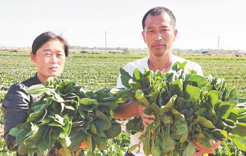 客商爽约 7万斤菠菜无销路愁坏临淄农户