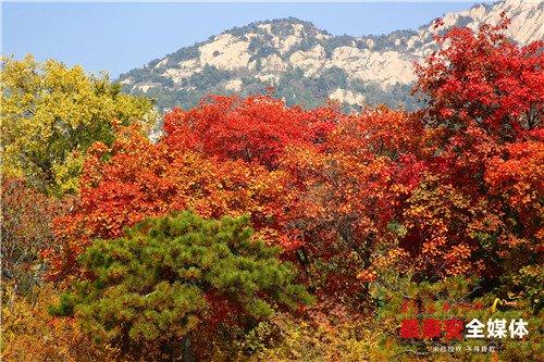 泰山红叶好,露重色欲浓,一起邂逅泰安绝景秋色吧!