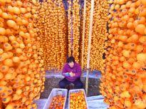 晒·秋 | 柿子红了!淄博农民忙采摘加工 红火场景扮靓金秋