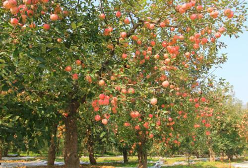 """""""旋皮子村""""的新产业:从前伐苹果树 现在建苹果园"""