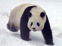 国宝大熊猫:黑龙江下雪喽 我在这里蛮好的