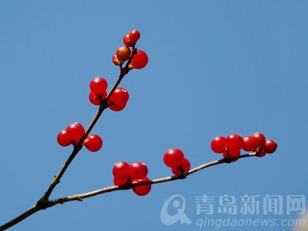 红果挂枝头。