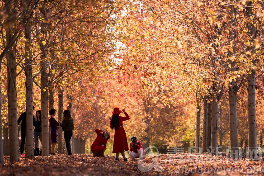 青岛版的爱在深秋