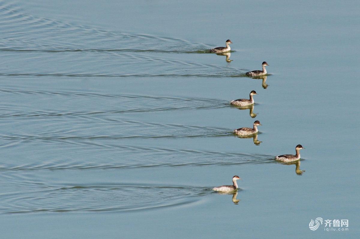 """青岛开启""""候鸟越冬""""模式 上万只红嘴鸥翔集入海口"""