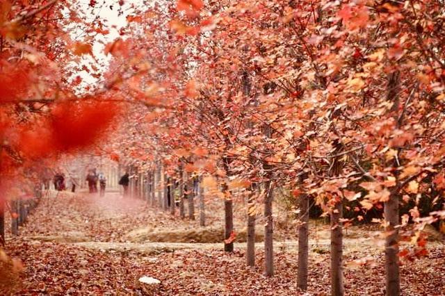组图:不负红叶不负秋 今年你准备去青岛哪里赏红叶?