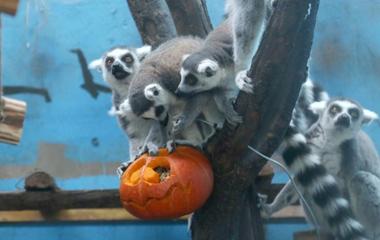 """万圣节青藏高原野生动物园为动物发放南瓜""""福利"""""""