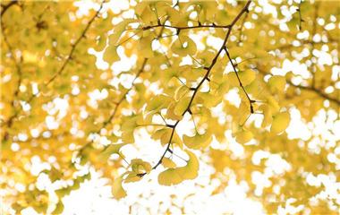 来看深秋最美校园 金灿灿银杏让山大气质爆棚