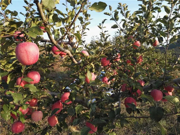 80年代中期,苹果树由传统品种向新品种转变
