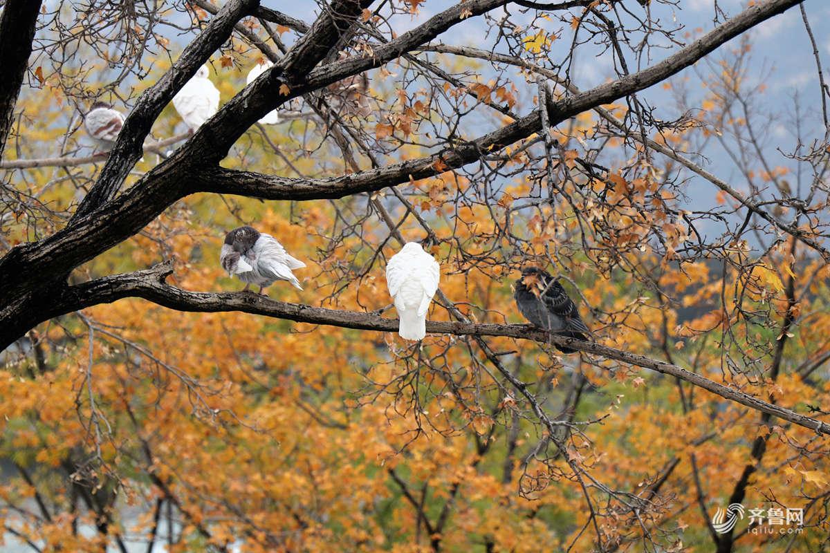 """泰安:鸽子雨中落满树 枫树变""""鸽子树"""""""