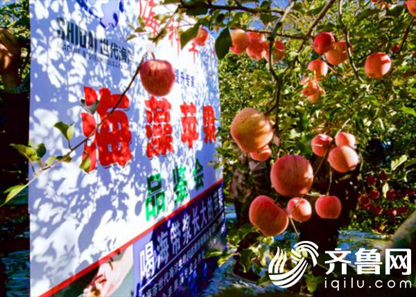 品鉴海藻苹果!海神丰助力烟台苹果提质增效