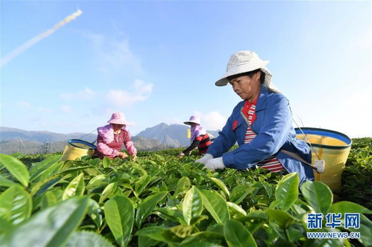 福建平和:高山茶园采摘季