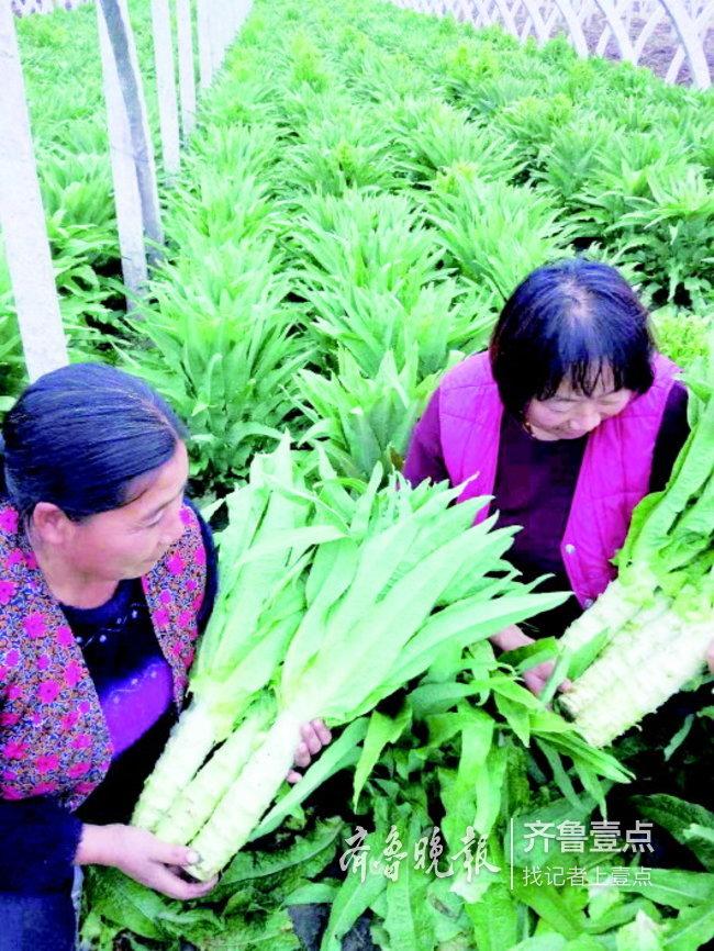 泰安莱芜一些农户莴苣滞销,好心人伸援手!
