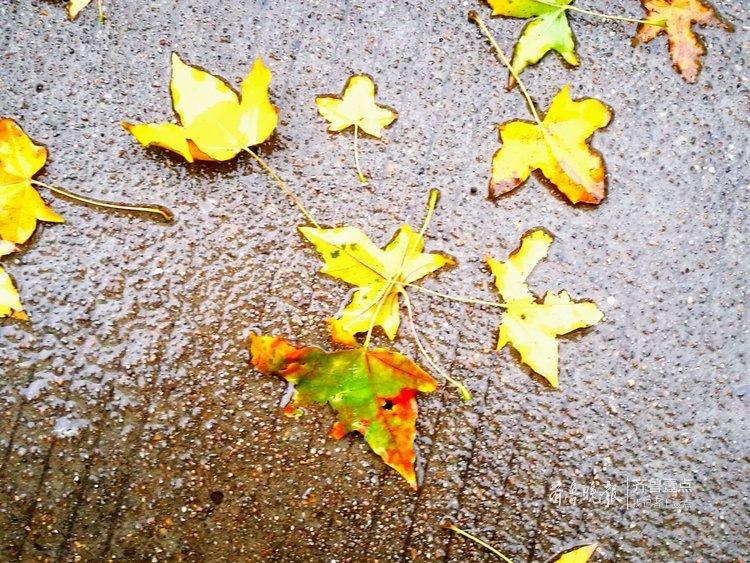 济南又飘小雨,红枫飘落满地诗