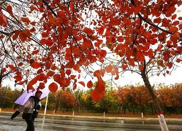 枣庄降雨降温 雨中红叶更加艳丽