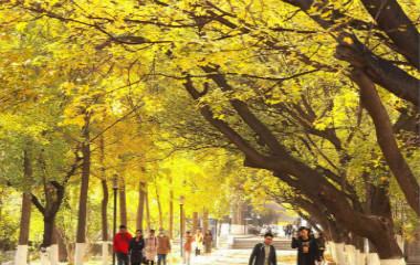 山东师大银杏叶黄落满园 秋色连波引人醉