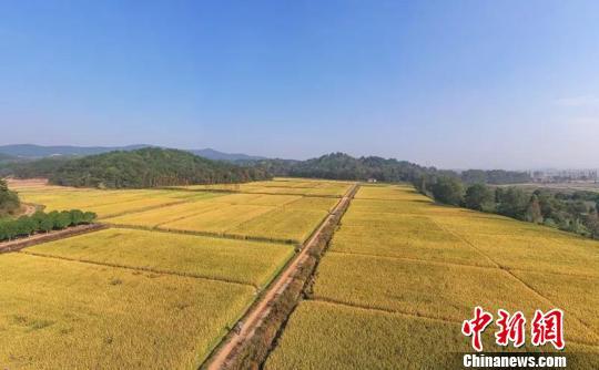 打破最高亩产记录 浙江单季晚稻及双季稻产量创新高
