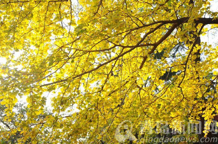 高清:八大关里最著名的银杏小径 初冬迎来金黄时刻