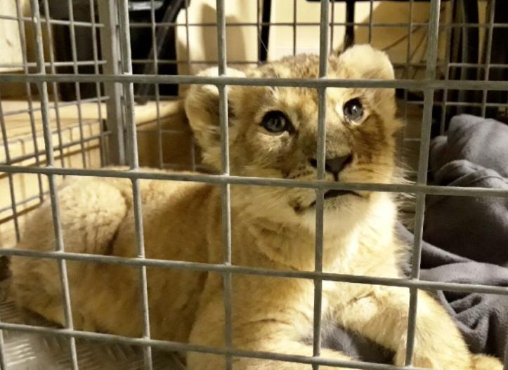 把狮子当宠物养? 巴黎豪车内藏幼狮 车主被拘留