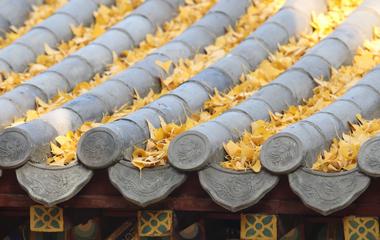 泰山普照寺银杏叶落 层层铺满宛若黄金地毯