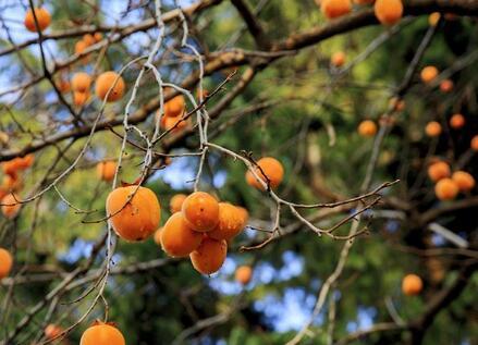 青岛的这个村子炊烟袅袅柿子满枝头 太美了!(图)