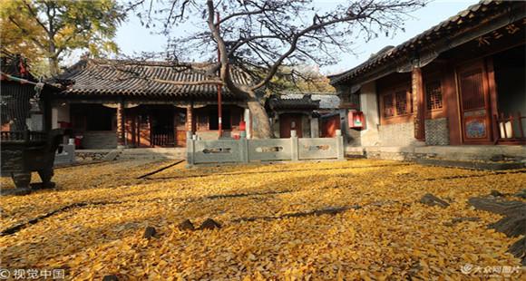 泰山普照寺银杏叶落 层层铺满地宛若黄金地毯