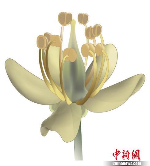 """中国科学家发现白垩纪""""神秘花"""" 重新解读达尔文""""讨厌之谜"""""""