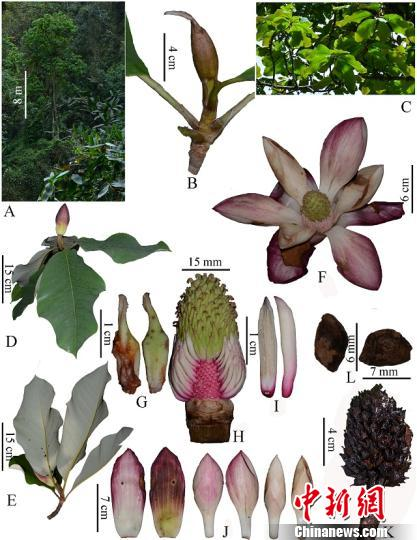 中国科研人员在缅甸发现木兰科一新种克钦木兰