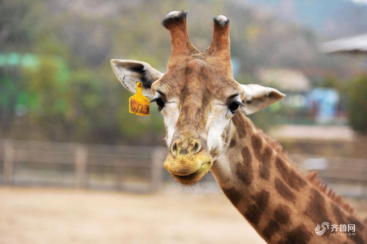 """2018年11月15日,青岛森林野生动物世界,十月份出生的小长颈鹿""""小十一"""""""