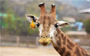 """呆萌!青岛野生动物世界小长颈鹿获名""""小十一"""""""