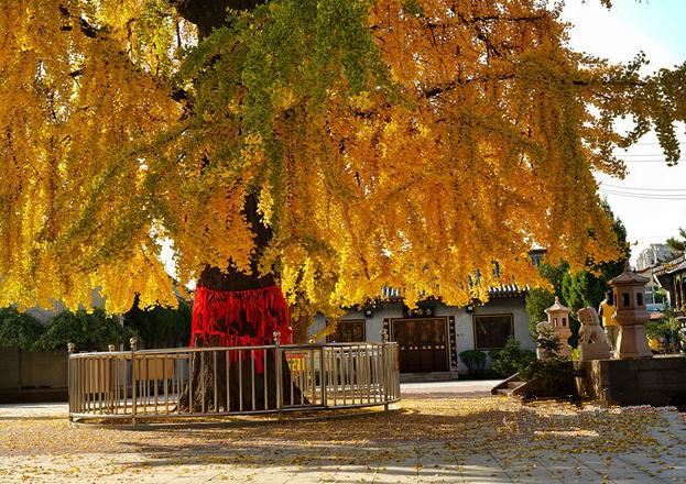 """色彩绚丽!青岛1600岁银杏树披上""""黄金甲""""(图)"""