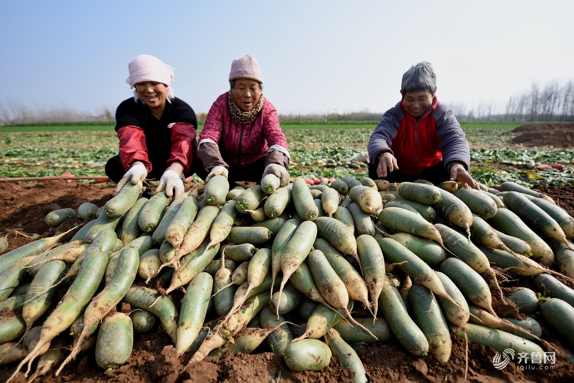 """山东临沂:3000余亩""""水果萝卜""""迎来丰收季"""