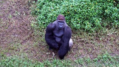 台北动物园金刚猩猩与山羌混居 员工曾担忧做恶梦