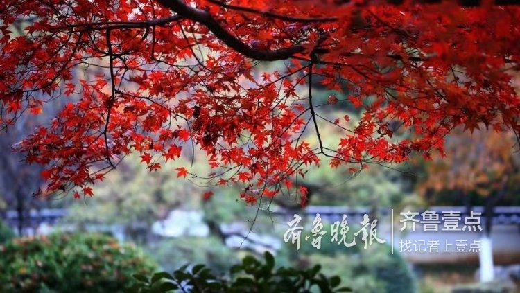 似火似霞!泉城公园霜打后的红枫更红了