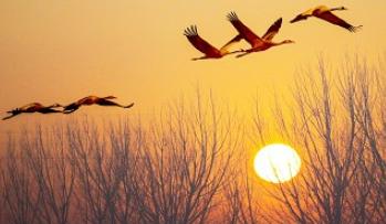 青岛是候鸟迁徙必经地摄影爱好者幸遇丹顶鹤