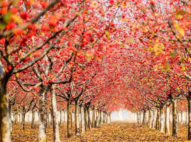 高清:青岛有个超级海棠园 初冬时节硕果累累美如画