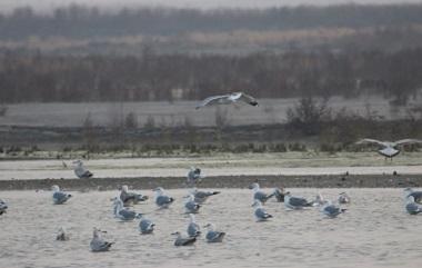 数万只水鸟在青岛胶州湾觅食越冬 场面浩荡