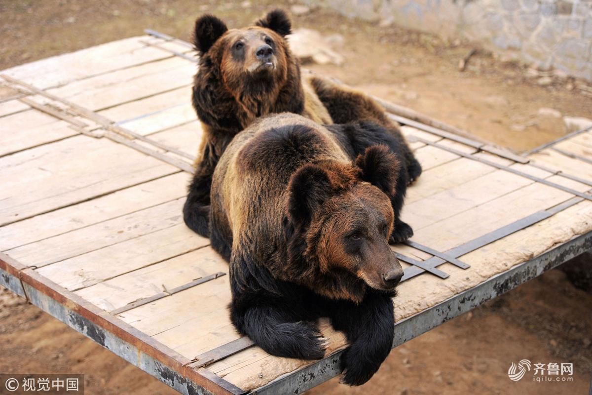 青岛:森林野生动物世界憨萌棕熊惹人捧腹