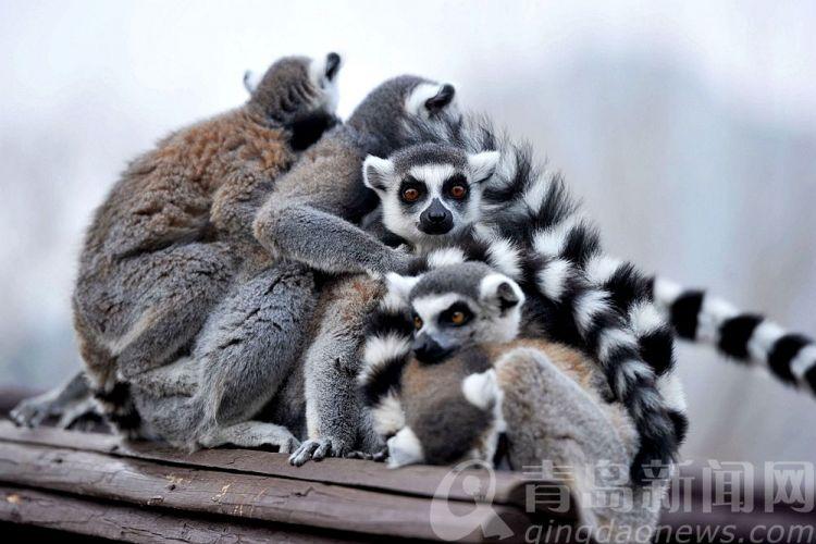 低温来袭!动物们也找小伙伴抱团取暖