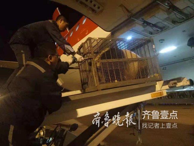 走绿色通道 两只大熊猫在青岛坐飞机安全回家(图)