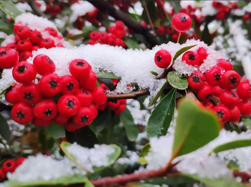 组图:青岛迎今冬第二场降雪  红瓦绿树披雪衣