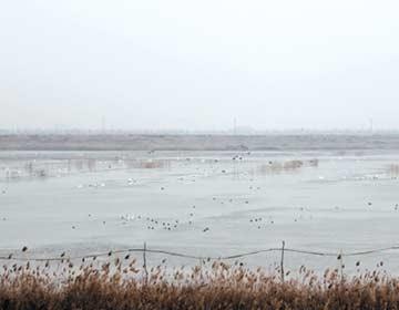 白昼鹅飞抵无棣饮马湖省级湿地公园栖息