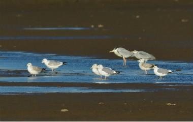 水上漫步!青岛罕见白琵鹭越冬胶州湾湿地