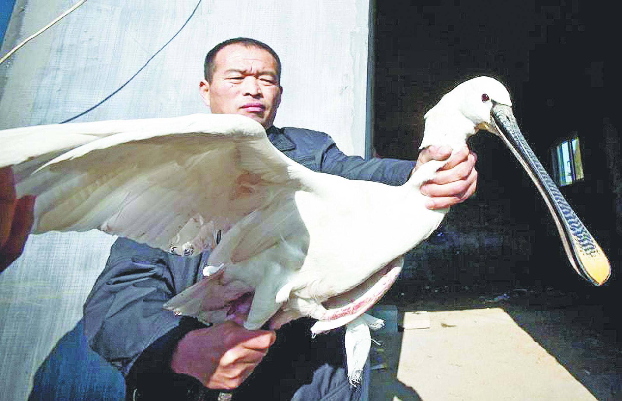 受伤白琵鹭滞留高青大芦湖水源保护区
