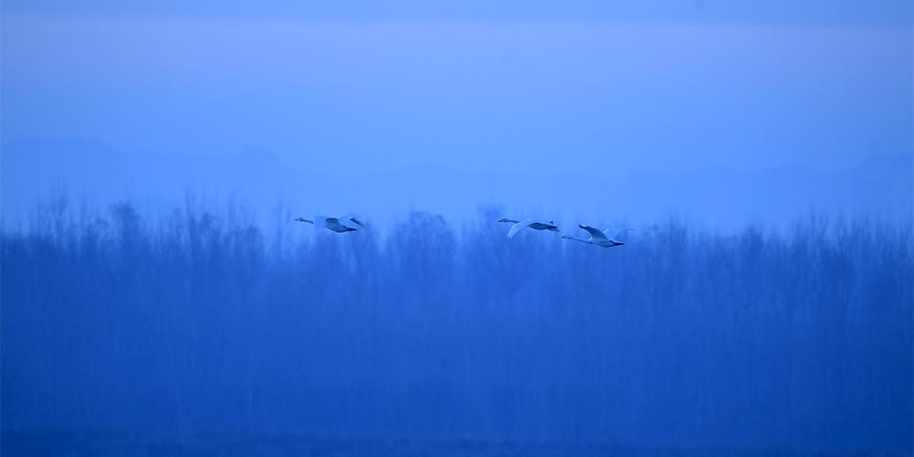 """济南黄河北湿地迎""""贵客"""" 40余只大天鹅""""扎堆""""来过冬"""