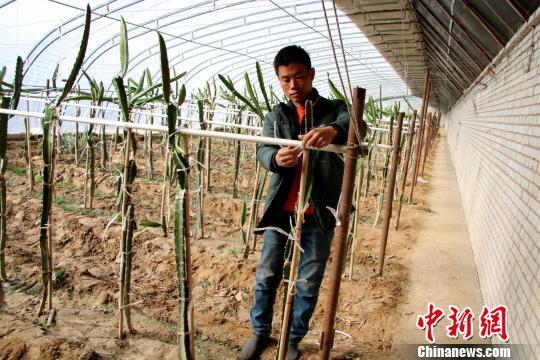 """热带水果红心火龙果在2800米的青藏高原 """"安家"""""""