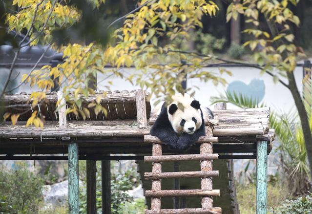 12月14日,在云南野生动物园大熊猫馆,一只大熊猫在休息.