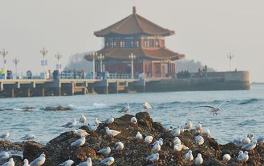栈桥鸥鸟翔集 引游人观赏喂食