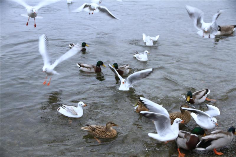 40、温德米尔湖上自由觅食的鸟禽