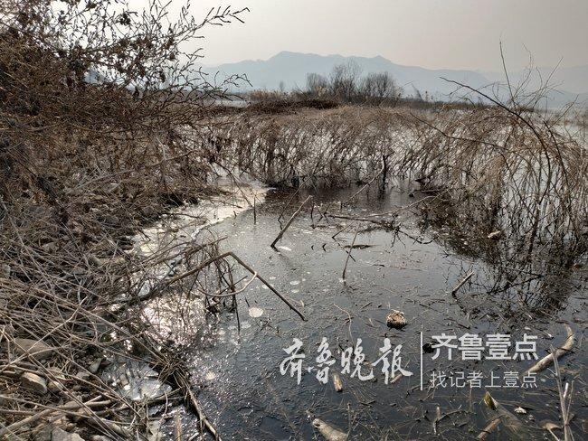 济南卧虎山水库冰封面积扩大,水禽向湖心转移