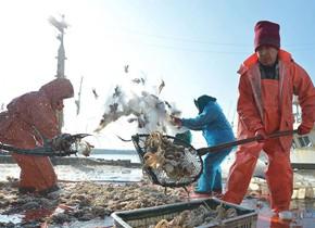 八带鮹、大虾、红头鱼! 新年青岛渔民首捕迎丰收